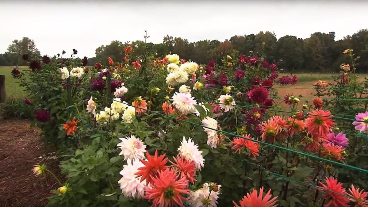 Dahlias on NPT's Volunteer Gardener