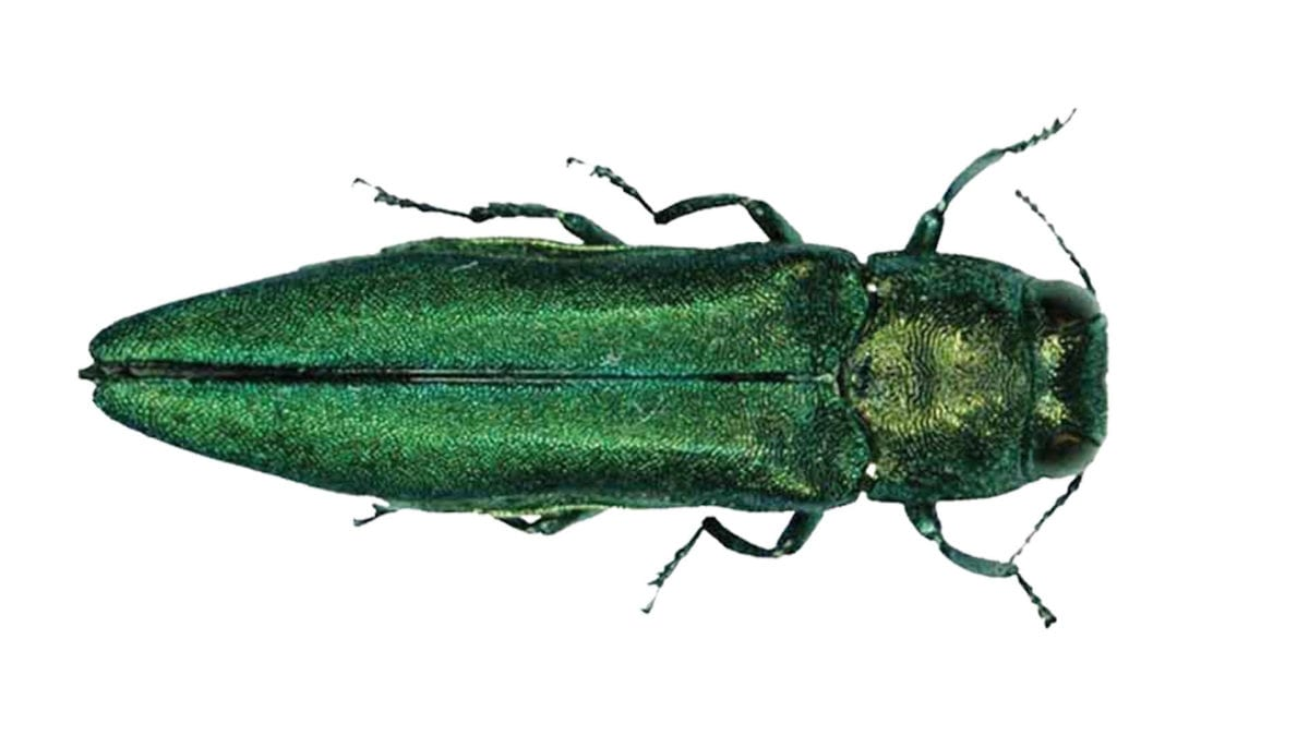 Emerald Ash Borer on NPT's Volunteer Gardener